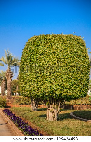 Ficus benjamina (weeping fig or ficus tree) - stock photo