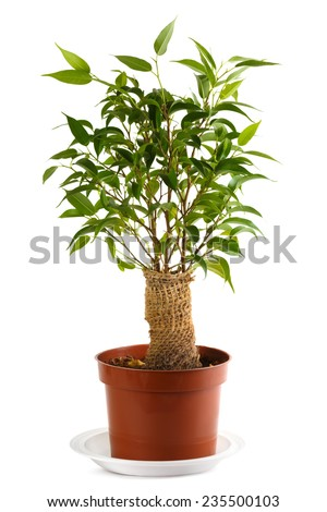 Ficus, burlap wrapped in a pot. Isolated on white. Shallow depth of field. - stock photo
