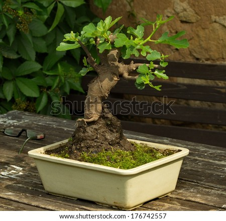 Ficus carica, Fig, bonsai - stock photo