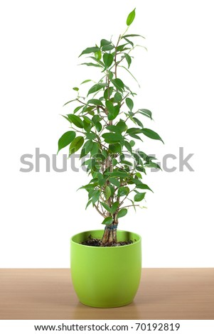 ficus in a pot on the table isolated on white - stock photo