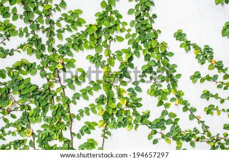 Ficus pumila climbing on white wall - stock photo