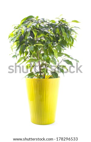 ficus tree in a bright ceramic pot isolated on white background - stock photo