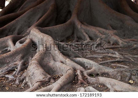 Ficus tree roots (Banyan) for different uses - stock photo