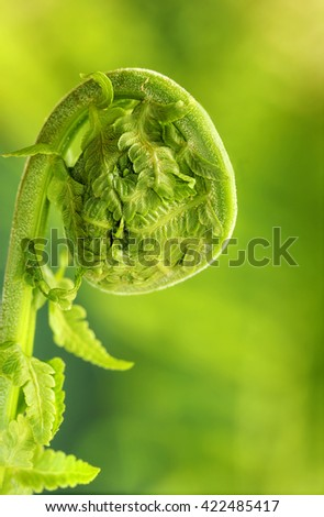 Fiddlehead fern - stock photo