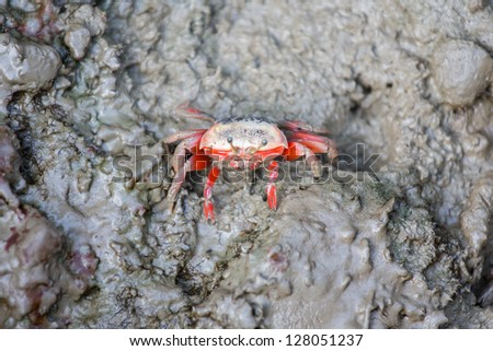 Fiddler Crab on wetland - stock photo