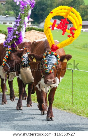 FIEBERBRUNN, AUSTRIA - SEPT 15: Decorated cow at Almabtrieb. A ceremonial driving down of cattle from the mountain pastures into the valley in autumn in Fieberbrunn, Austria on September 15, 2012. - stock photo