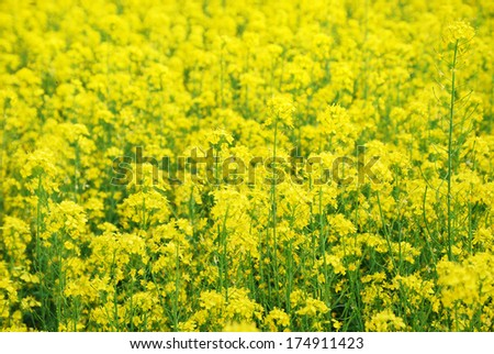 field are flowering in summer. It is photographed closely. Rapeseed oil is suitable for use as biodiesel. - stock photo