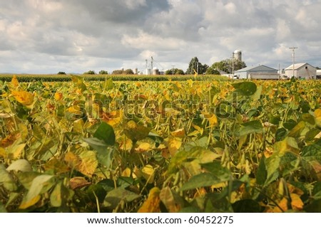 field beans soybeans in early autumn with farm - stock photo