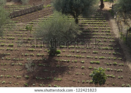 Field containing drills of potato plants growing and olive tree - stock photo