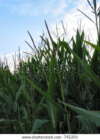 Field corn in mid to late Summer - stock photo
