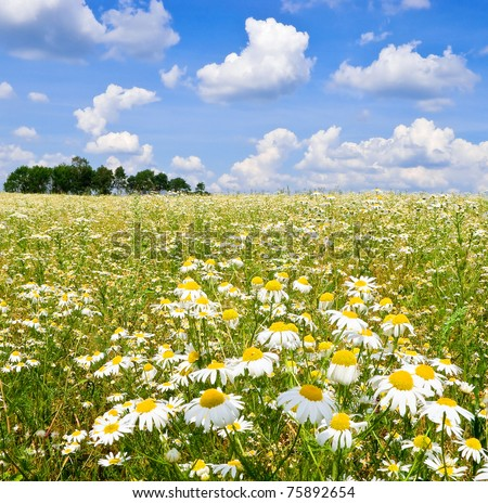 Field covered with flowers of wild camomile ( Matricaria chamomilla) - stock photo