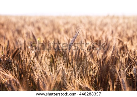 Field dawn sky wheat spikelets - stock photo