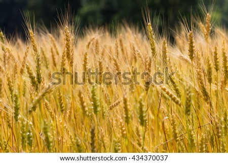 Field filled with almost ready to harvest winter wheat (riticum aestivum) - stock photo