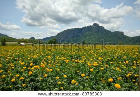 field is marigold - stock photo