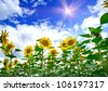 Field of amazing sunflowers and blue sky. - stock photo