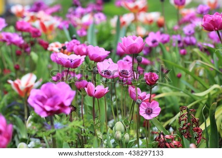 Field of anemones - stock photo