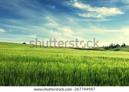 field of barley - stock photo