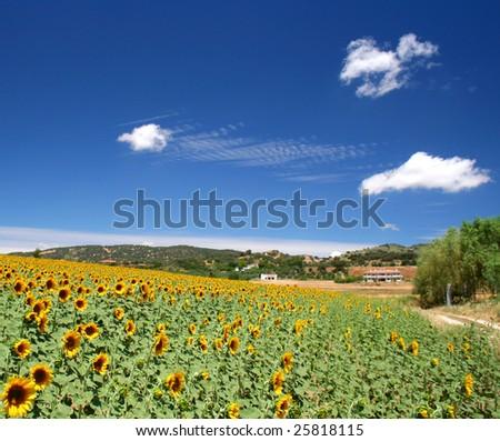field of beautiful sunflowers - stock photo