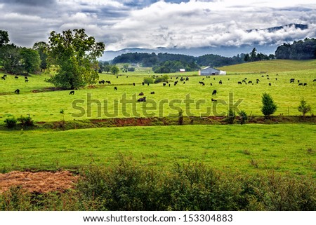 Field of black angus cows in summer scenic landscape - stock photo