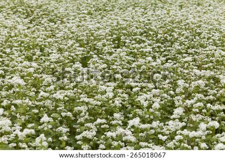 Field of blooming buckwheat - stock photo