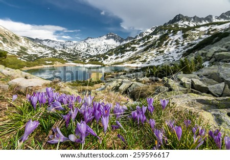 Field Of Blooming Crocuses In The Spring In The Mountains by a Lake With Spots of Snow - stock photo