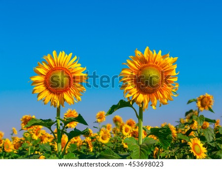 Field of blooming sunflowers on a background of blue sky. - stock photo