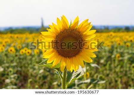 field of blossoming sunflowers - stock photo
