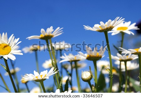 Field of bright camomiles on a blue sky background in a sunny summer day, stretching their petals out to the sun - stock photo