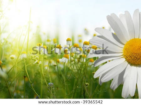 Field of chamomiles - stock photo