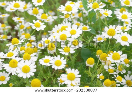 Field of chamomiles. Shallow DOF. - stock photo