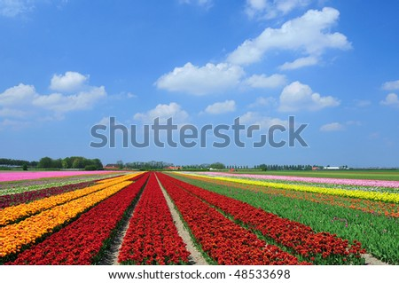 Field of colorful tulips in Holland - stock photo