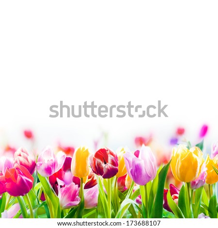Field of colourful spring tulips fading into the distance as a lower border on a white background with copyspace - stock photo