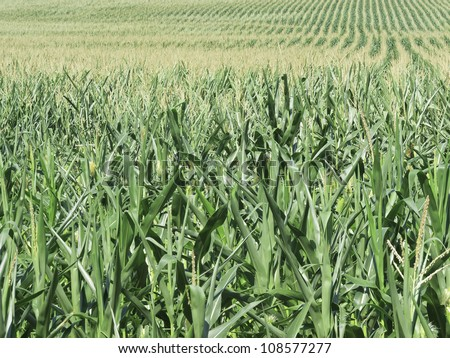 Field of corn growing in a drought in northern Illinois - stock photo