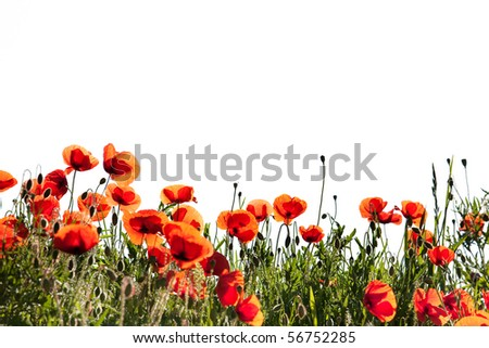 Field of Corn Poppy Flowers Papaver rhoeas in Spring isolated on white - stock photo