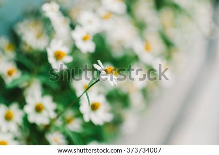 Field of Dahlberg daisy in the garden - stock photo