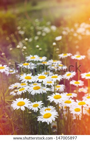 Field of daisies and sunshine - stock photo