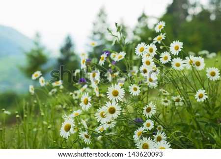 field of daisies in the mountains - stock photo