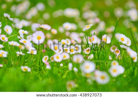field of daisies, springtime, flowers close up - stock photo
