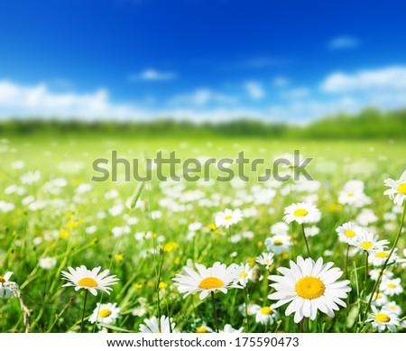 field of daisy flowers - stock photo