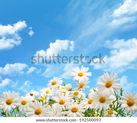 field of daisy flowers against blue sky - stock photo