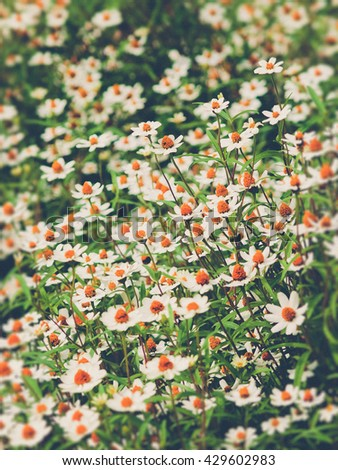 field of daisy flowers (Vintage filter effect used) - stock photo