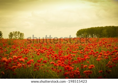 Field of flowers on sunset with beautiful idyllic red poppies - stock photo