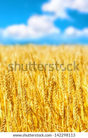 Field of golden rye close-up. - stock photo