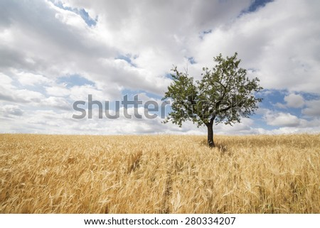 field of golden wheat under cloudy sky in Andalusia, Spain  - stock photo