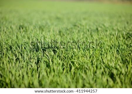 field of green grass in sun - stock photo
