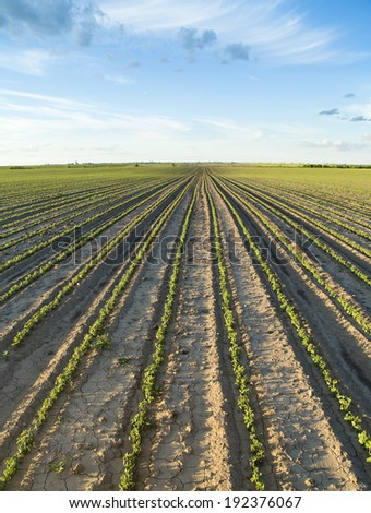 Field of green soybean in its early stage of growing - stock photo