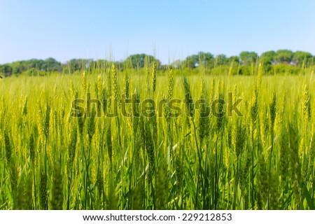 Field of green wheat - stock photo