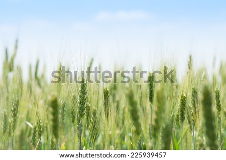 field of green wheat and blue sky - stock photo