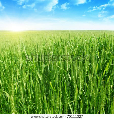 Field  of green wheat,blue sky and sunlight. - stock photo