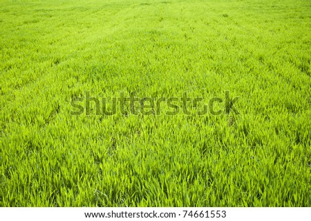 Field of green wheat grass - stock photo